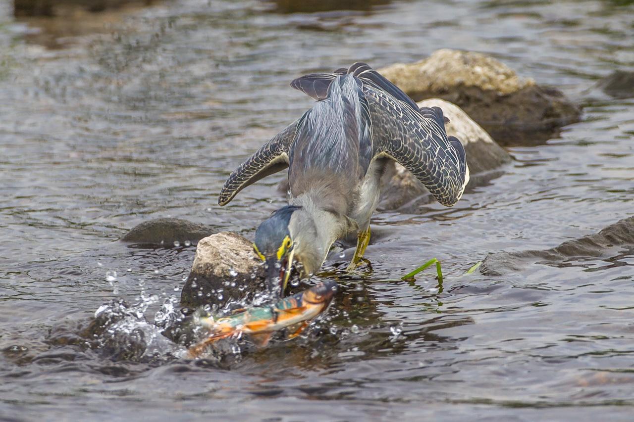 ササゴイのオイカワ漁(1)_a0052080_18500637.jpg