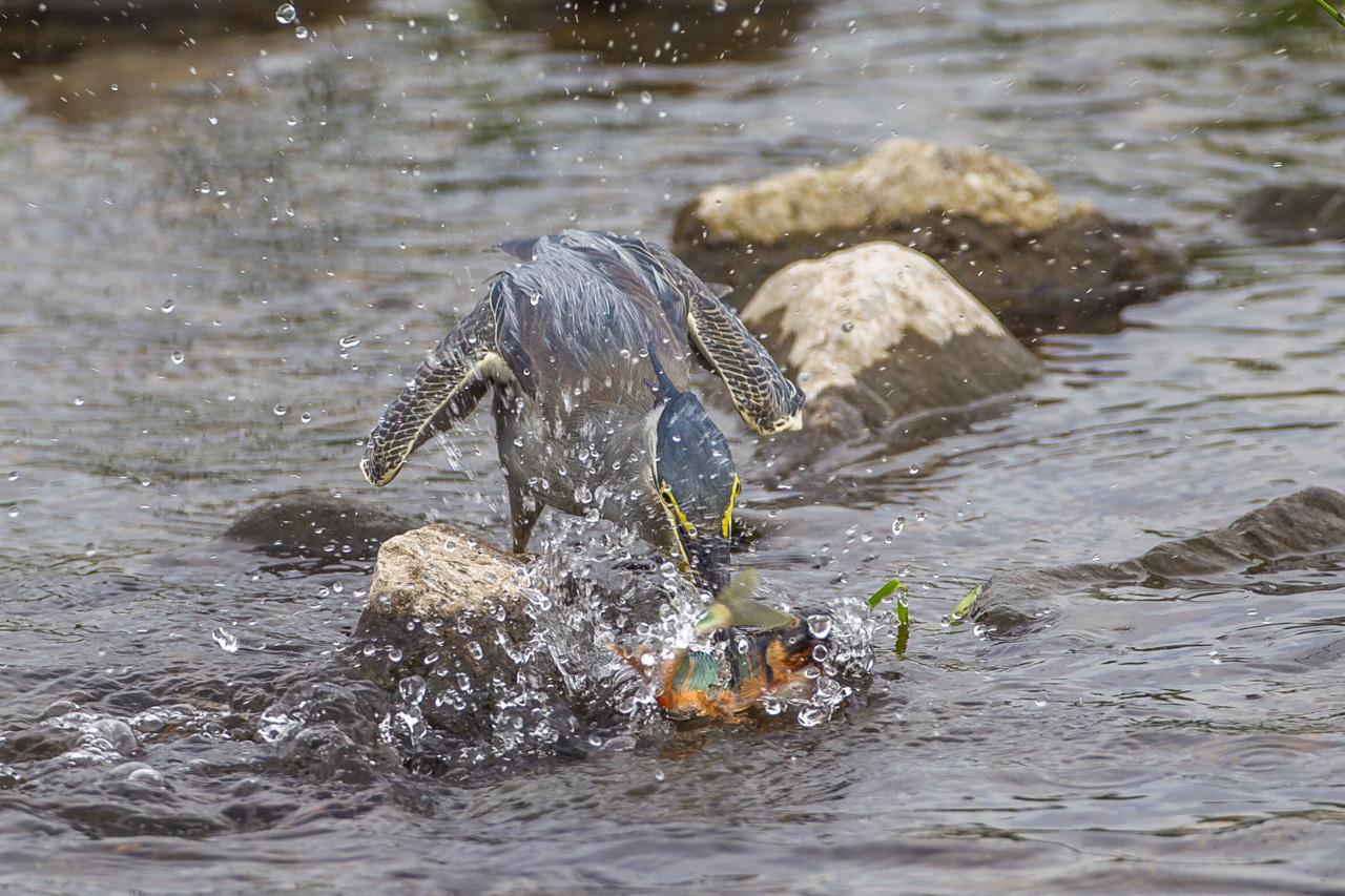 ササゴイのオイカワ漁(1)_a0052080_18503449.jpg
