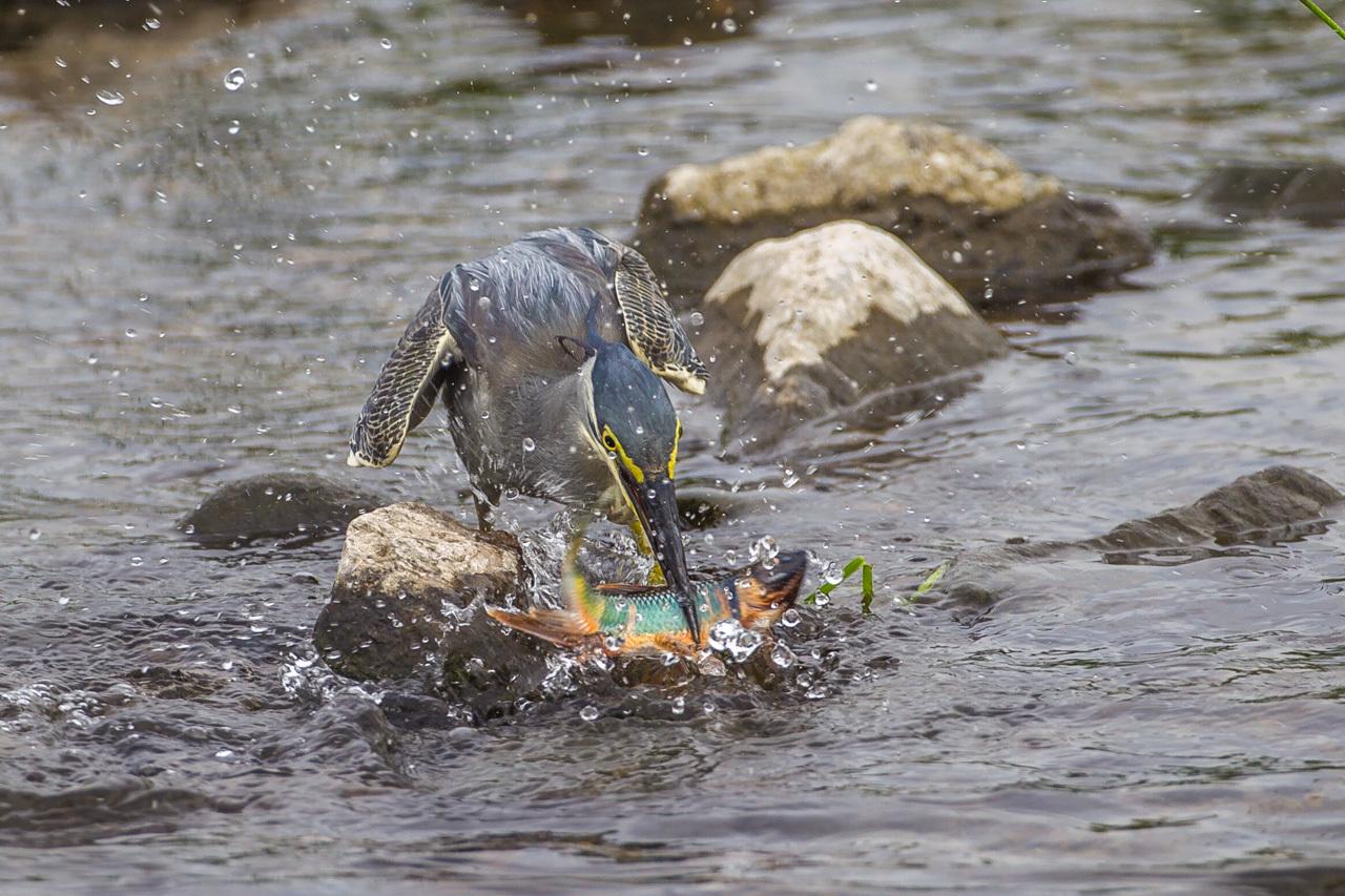 ササゴイのオイカワ漁(1)_a0052080_18504189.jpg