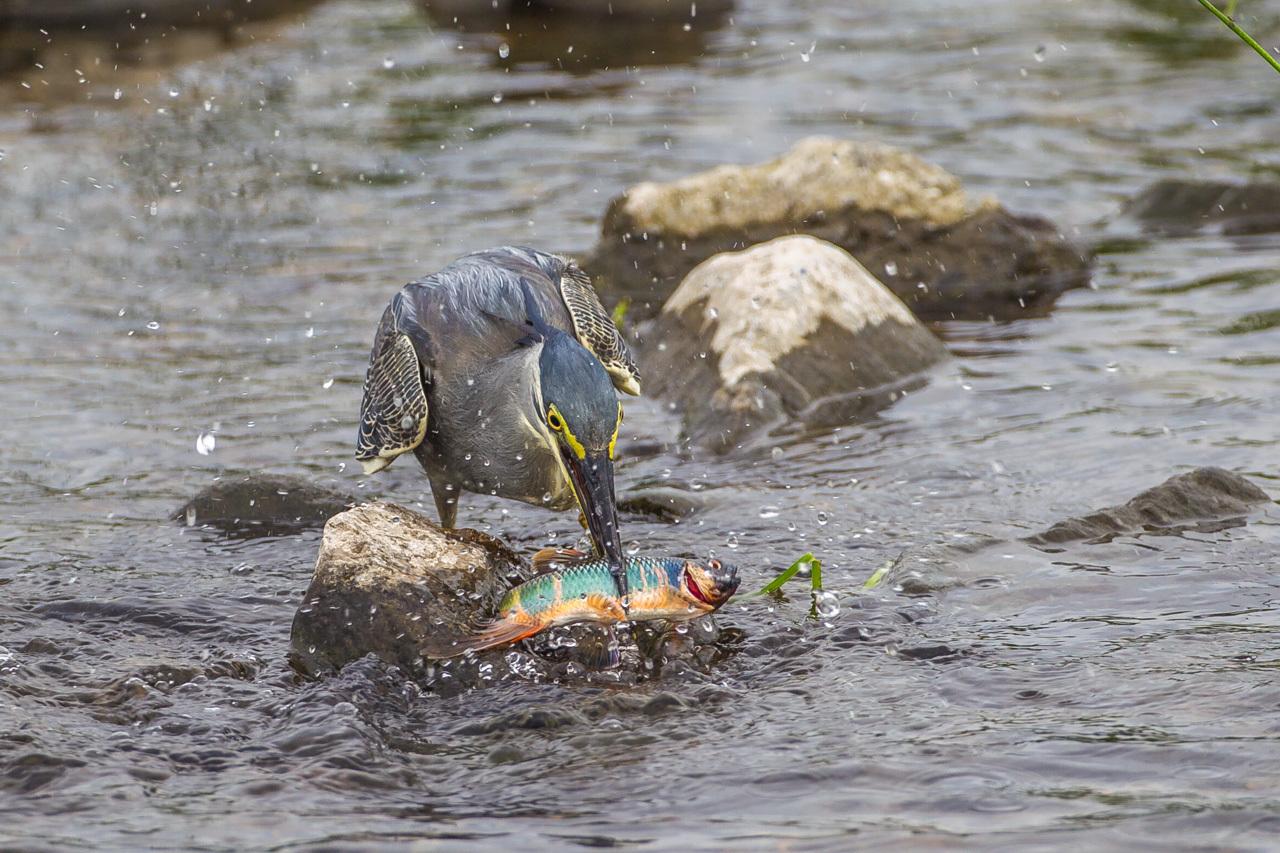 ササゴイのオイカワ漁(1)_a0052080_18504726.jpg
