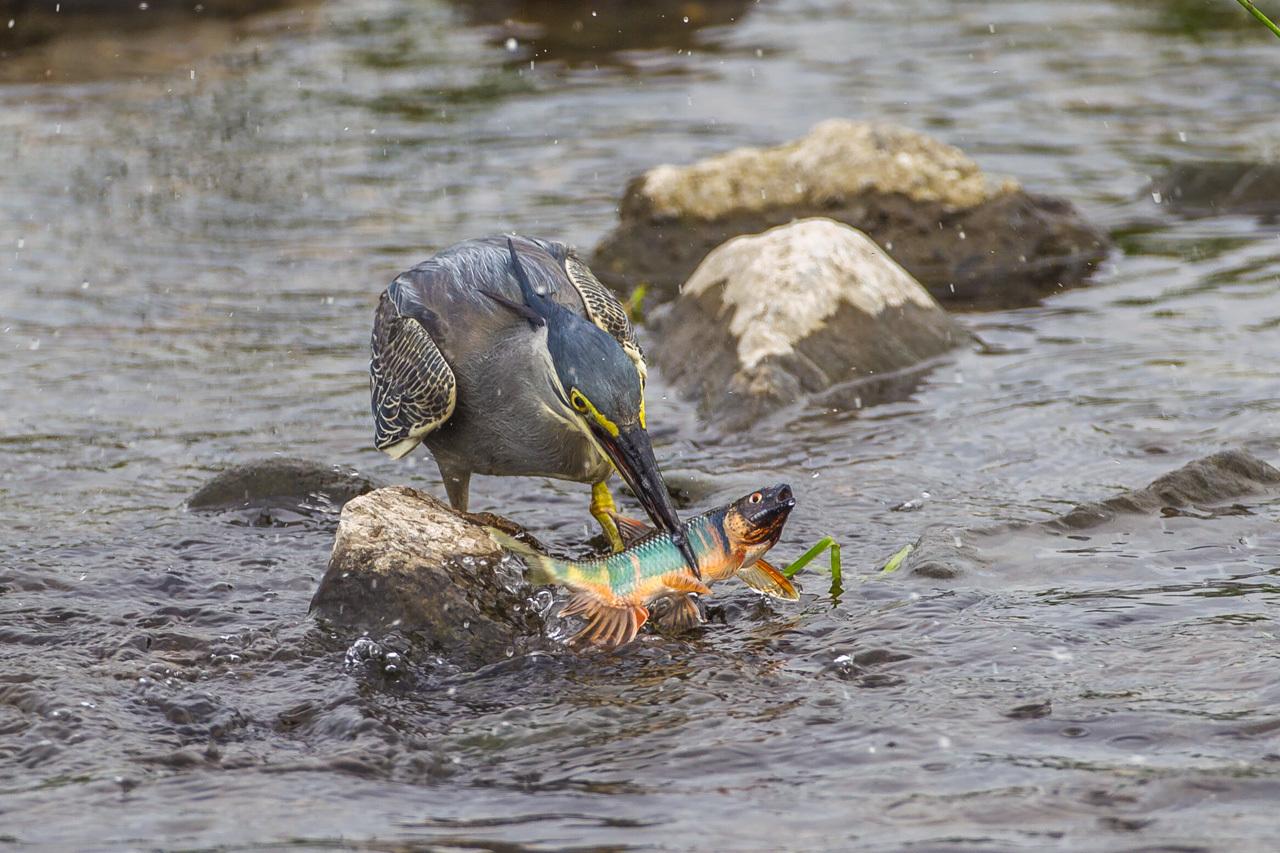 ササゴイのオイカワ漁(1)_a0052080_18505389.jpg
