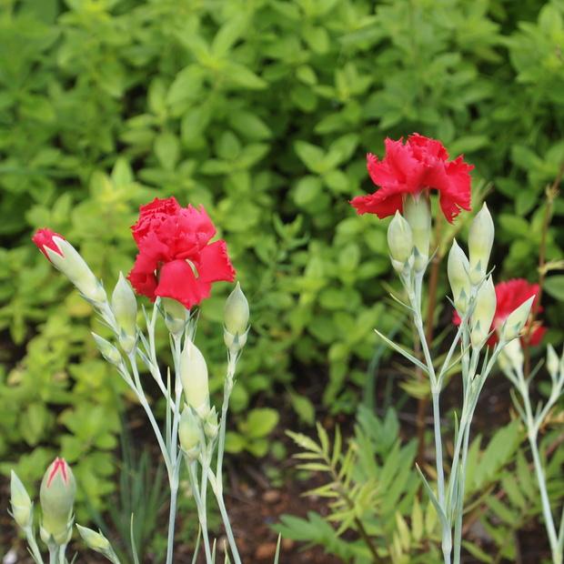 多年草のハーブ、成長もそれぞれ_a0292194_11192285.jpg