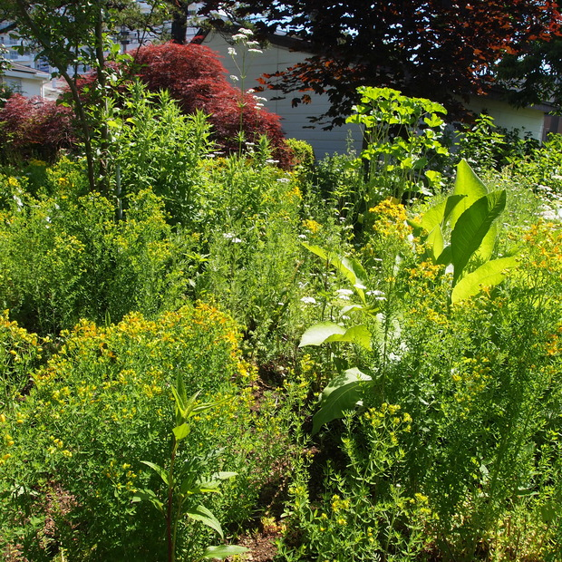 多年草のハーブ、成長もそれぞれ_a0292194_1127414.jpg