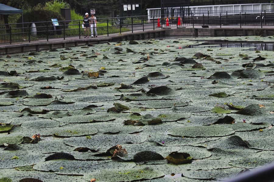sd Quattro のMFで水元公園のオニバスを撮る!_c0223825_02202193.jpg