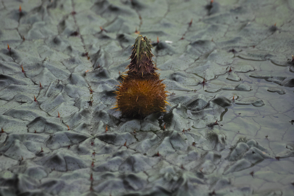 sd Quattro のMFで水元公園のオニバスを撮る!_c0223825_02220975.jpg