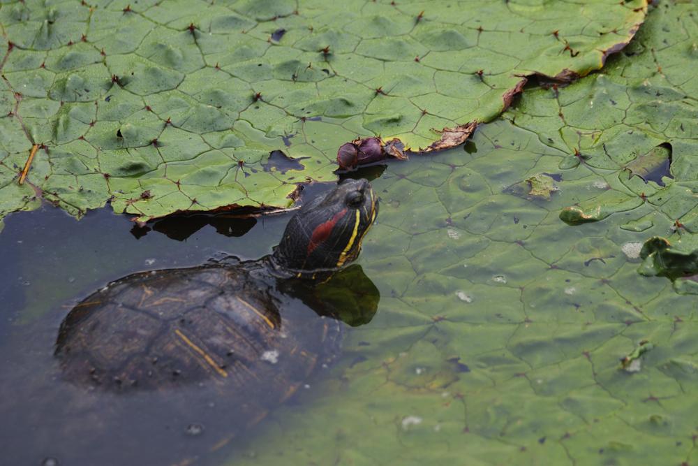 sd Quattro のMFで水元公園のオニバスを撮る!_c0223825_02314958.jpg