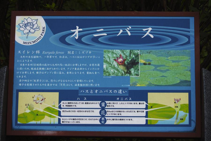 sd Quattro のMFで水元公園のオニバスを撮る!_c0223825_02330044.jpg
