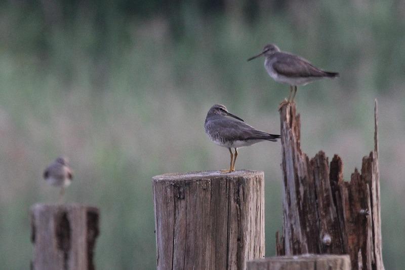 ★もうキアシシギがやってきています・・・週末の鳥類園(2016.7.16~18)_e0046474_1147814.jpg