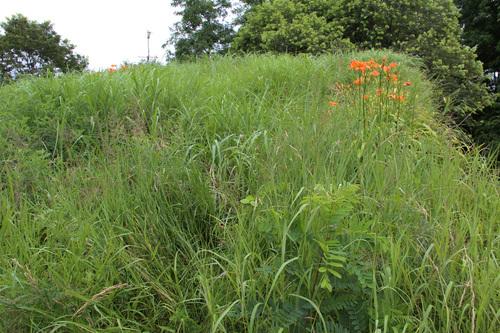 芝置屋根のカンゾウの花_e0054299_17402866.jpg