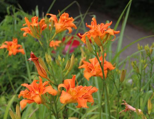 芝置屋根のカンゾウの花_e0054299_1740855.jpg