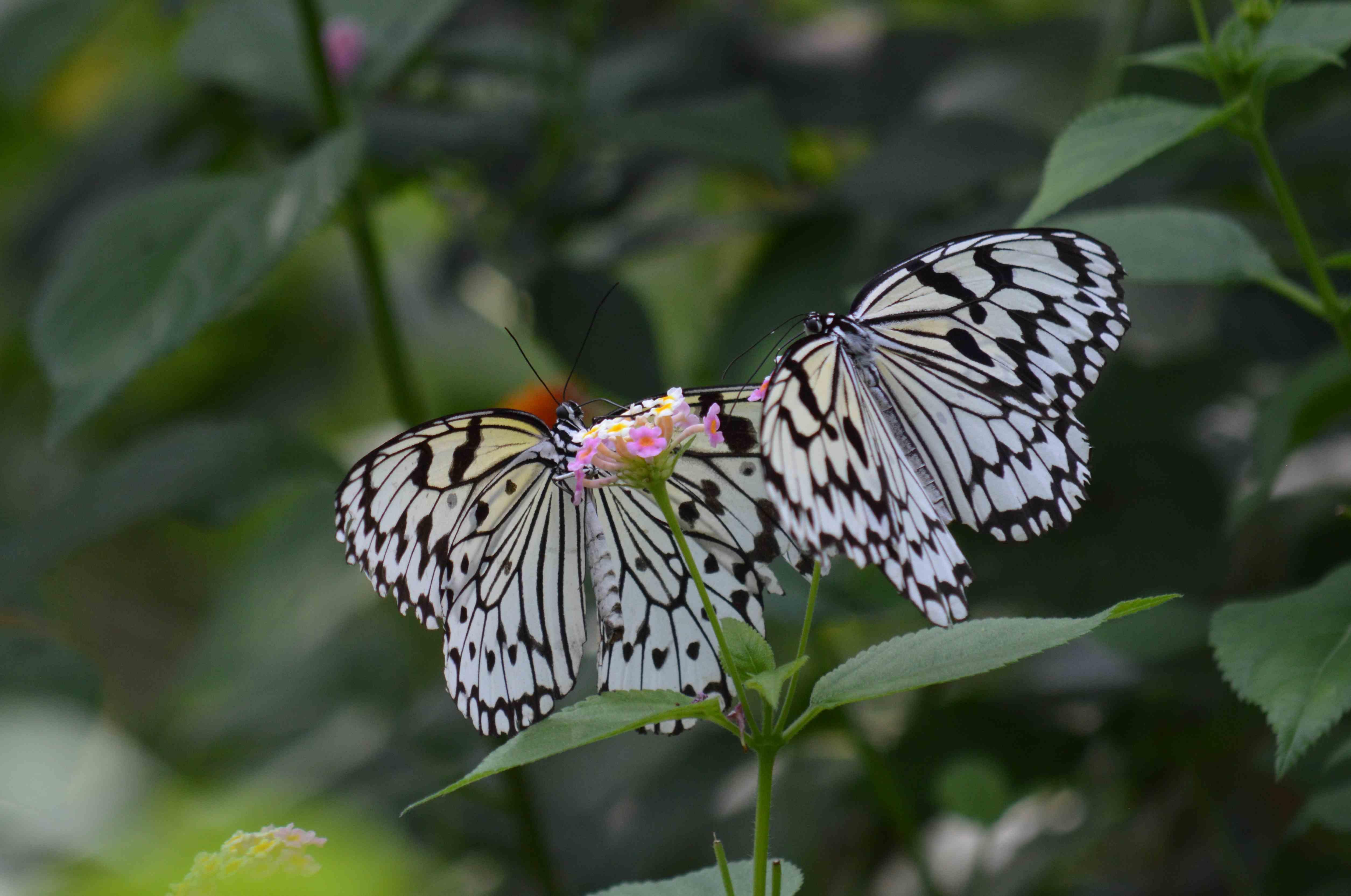 オオゴマダラ他 7月18日 多摩動物園にて_d0254540_1823728.jpg
