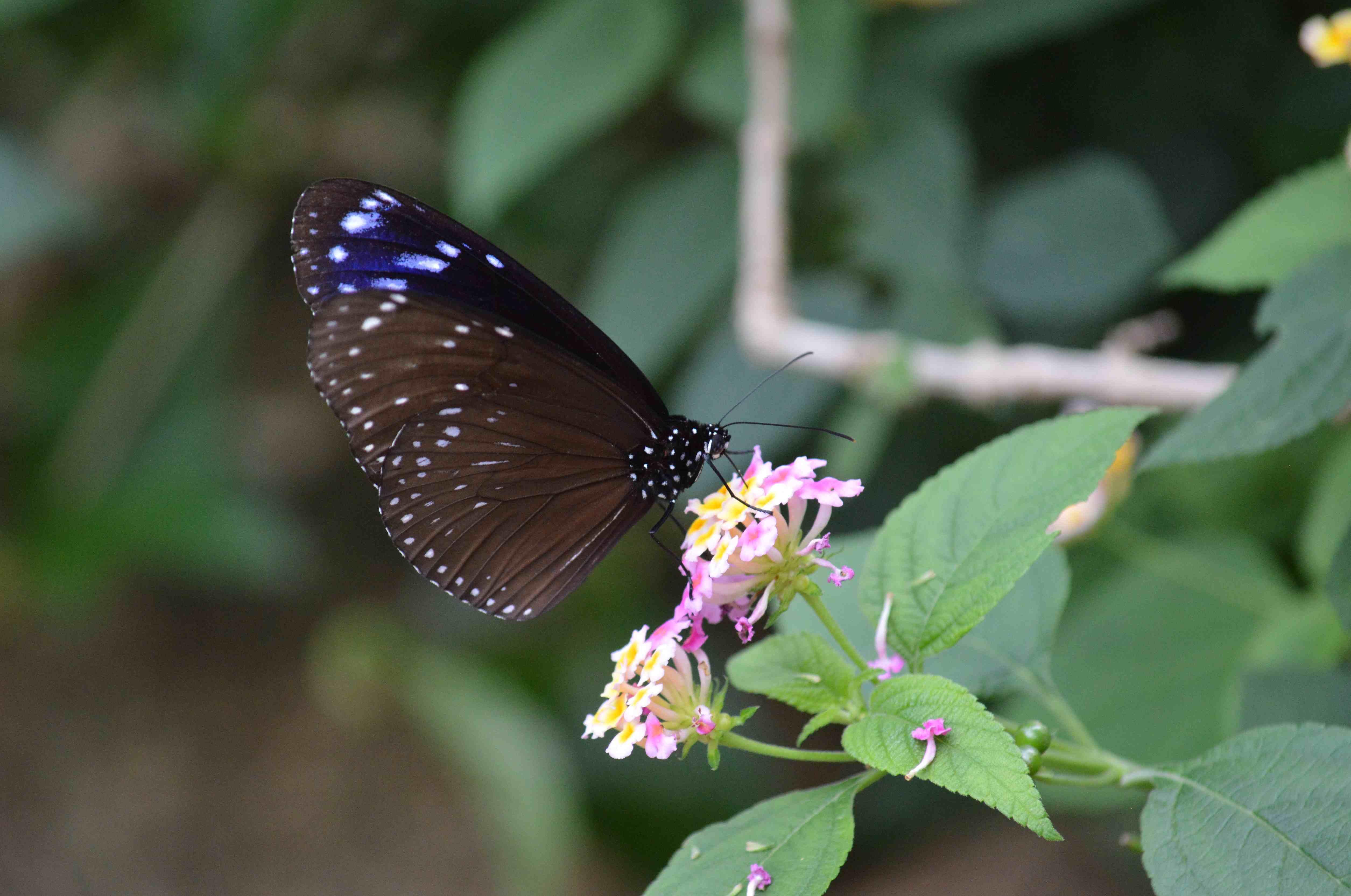 オオゴマダラ他 7月18日 多摩動物園にて_d0254540_1825563.jpg