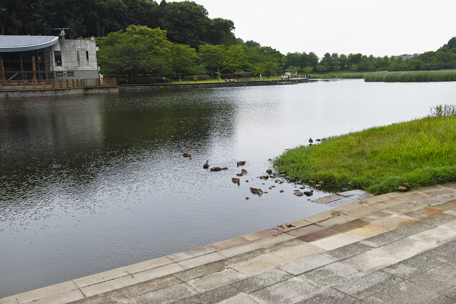 sd Quattro で野鳥撮影は楽しめないのか?いえいえ。~松戸市・21世紀の森公園でカワセミを楽しむ(前編)~_c0223825_00472550.jpg