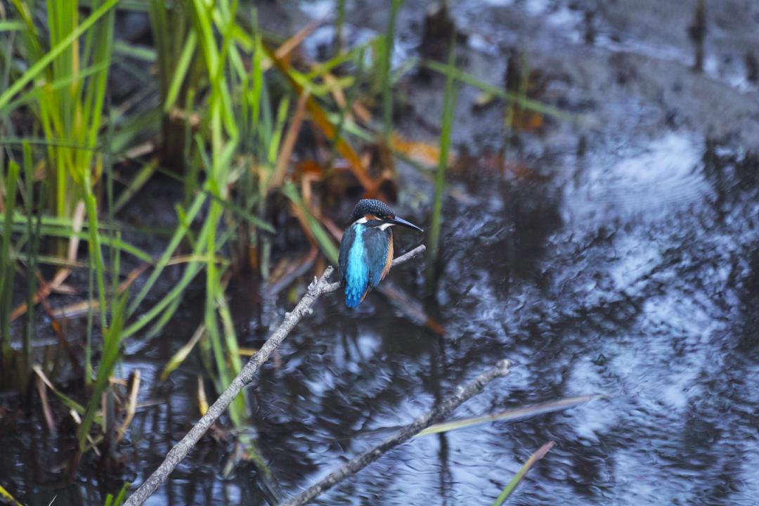 sd Quattro で野鳥撮影は楽しめないのか?いえいえ。~松戸市・21世紀の森公園でカワセミを楽しむ(前編)~_c0223825_01155998.jpg