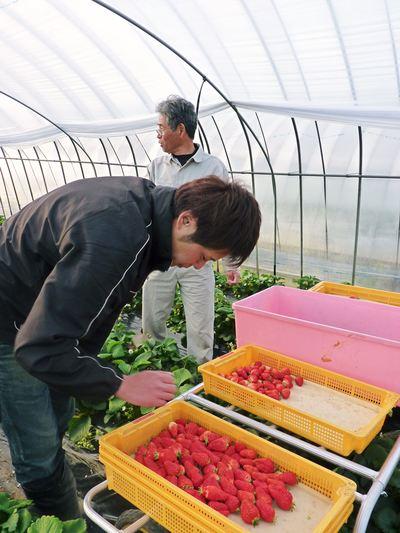 完熟紅ほっぺ 育苗(苗床の様子)と安心・安全なイチゴを育てるための農薬を使わない消毒の話_a0254656_18292618.jpg