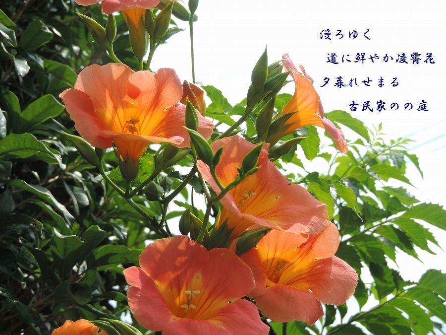 ノウゼンカズラ(凌霄花)_c0187781_00013141.jpg