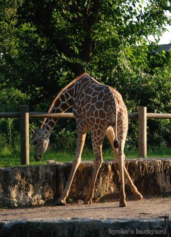 Twilight Tuesday @ Sedgwick County Zoo_b0253205_02425541.jpg