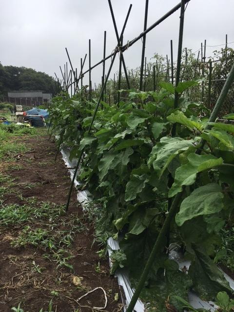 茄子達は櫓を組んで 背を伸ばして行きます _c0222448_11453228.jpg