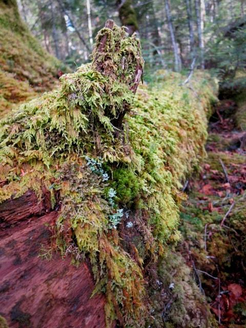 GWの蓼科 ④苔と原生林~白駒の池_f0236260_1451973.jpg