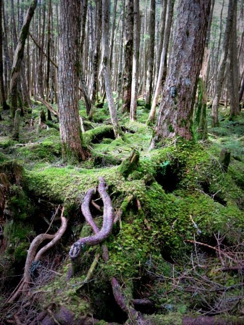 GWの蓼科 ④苔と原生林~白駒の池_f0236260_2543642.jpg