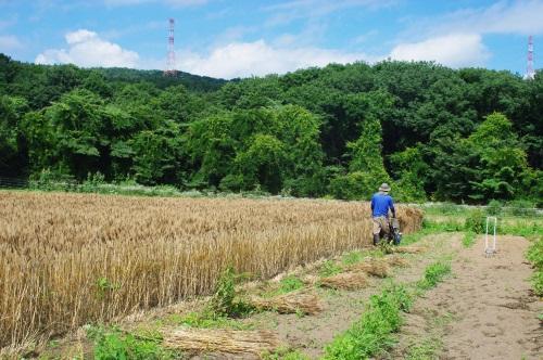 小麦2016の収穫_c0110869_12473092.jpg
