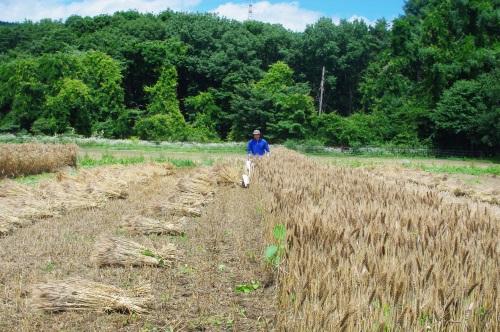 小麦2016の収穫_c0110869_12474180.jpg