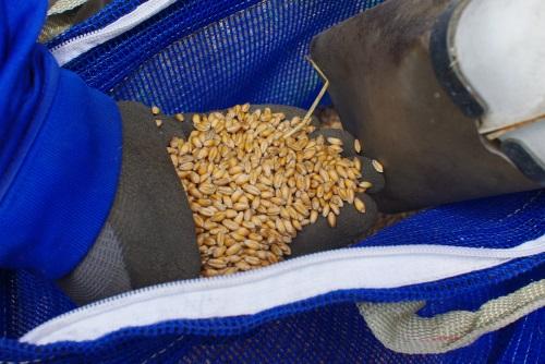 小麦2016の収穫_c0110869_1248248.jpg
