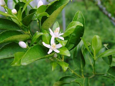 究極の柑橘「せとか」 匠の摘果作業で今年も元気な夏芽が芽吹いています!_a0254656_13364385.jpg