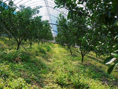 究極の柑橘「せとか」 着果から匠の摘果作業までの話_a0254656_13421638.jpg