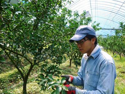 究極の柑橘「せとか」 着果から匠の摘果作業までの話_a0254656_13445956.jpg