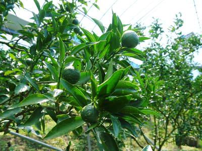 究極の柑橘「せとか」 着果から匠の摘果作業までの話_a0254656_13452393.jpg
