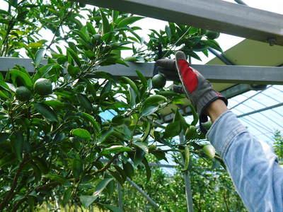 究極の柑橘「せとか」 匠の摘果作業で今年も元気な夏芽が芽吹いています!_a0254656_13512168.jpg