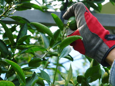 究極の柑橘「せとか」 匠の摘果作業で今年も元気な夏芽が芽吹いています!_a0254656_13565648.jpg