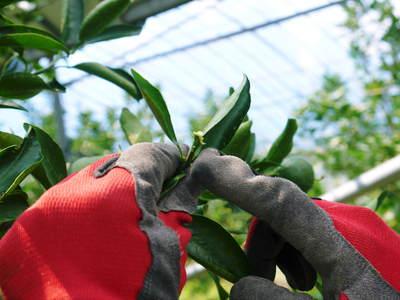 究極の柑橘「せとか」 匠の摘果作業で今年も元気な夏芽が芽吹いています!_a0254656_13585683.jpg