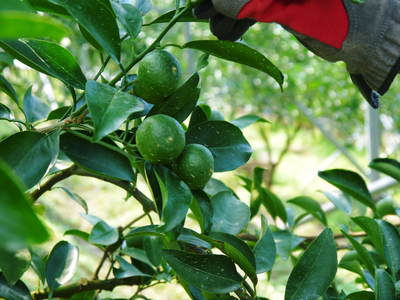 究極の柑橘「せとか」 匠の摘果作業で今年も元気な夏芽が芽吹いています!_a0254656_1414354.jpg