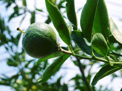 究極の柑橘「せとか」 着果から匠の摘果作業までの話_a0254656_14234255.jpg