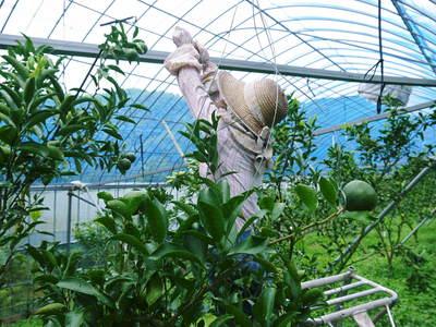 究極の柑橘「せとか」 匠の摘果作業で今年も元気な夏芽が芽吹いています!_a0254656_14331977.jpg