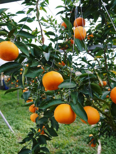 究極の柑橘「せとか」 着果から匠の摘果作業までの話_a0254656_14363436.jpg
