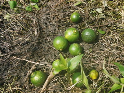 究極の柑橘「せとか」 匠の摘果作業で今年も元気な夏芽が芽吹いています!_a0254656_1454340.jpg