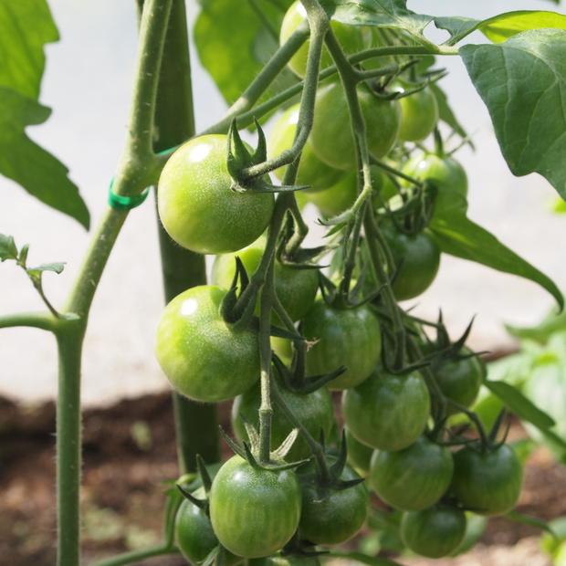 トマトの様子_a0292194_2062633.jpg