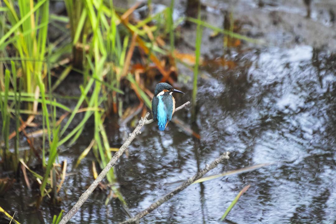 sd Quattro で野鳥撮影は楽しめないのか?いえいえ。~松戸市・21世紀の森公園でカワセミを楽しむ(後編)~_c0223825_11480087.jpg