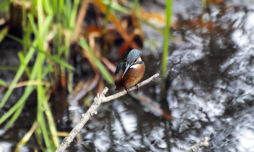 sd Quattro で野鳥撮影は楽しめないのか?いえいえ。~松戸市・21世紀の森公園でカワセミを楽しむ(後編)~_c0223825_11575974.jpg