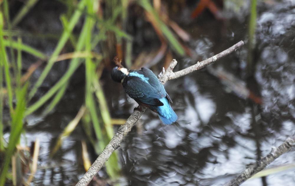 sd Quattro で野鳥撮影は楽しめないのか?いえいえ。~松戸市・21世紀の森公園でカワセミを楽しむ(後編)~_c0223825_12000068.jpg