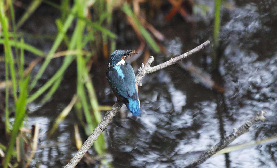 sd Quattro で野鳥撮影は楽しめないのか?いえいえ。~松戸市・21世紀の森公園でカワセミを楽しむ(後編)~_c0223825_12042003.jpg