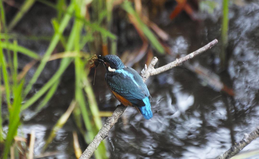 sd Quattro で野鳥撮影は楽しめないのか?いえいえ。~松戸市・21世紀の森公園でカワセミを楽しむ(後編)~_c0223825_12094707.jpg