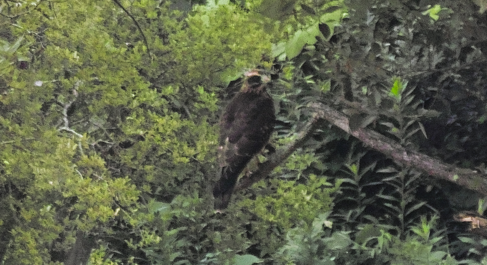 sd Quattro で野鳥撮影は楽しめないのか?いえいえ。~松戸市・21世紀の森公園でカワセミを楽しむ(後編)~_c0223825_12245411.jpg