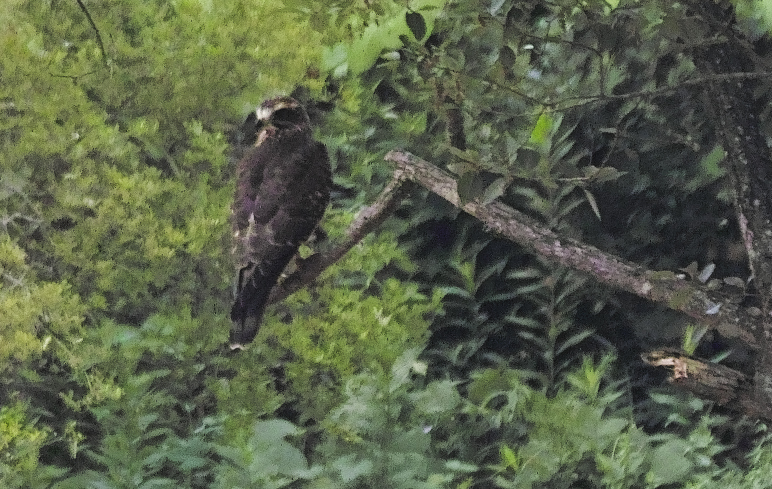 sd Quattro で野鳥撮影は楽しめないのか?いえいえ。~松戸市・21世紀の森公園でカワセミを楽しむ(後編)~_c0223825_12265737.jpg