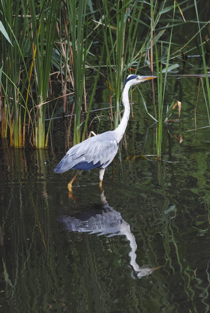 sd Quattro で野鳥撮影は楽しめないのか?いえいえ。~松戸市・21世紀の森公園でカワセミを楽しむ(後編)~_c0223825_12384725.jpg