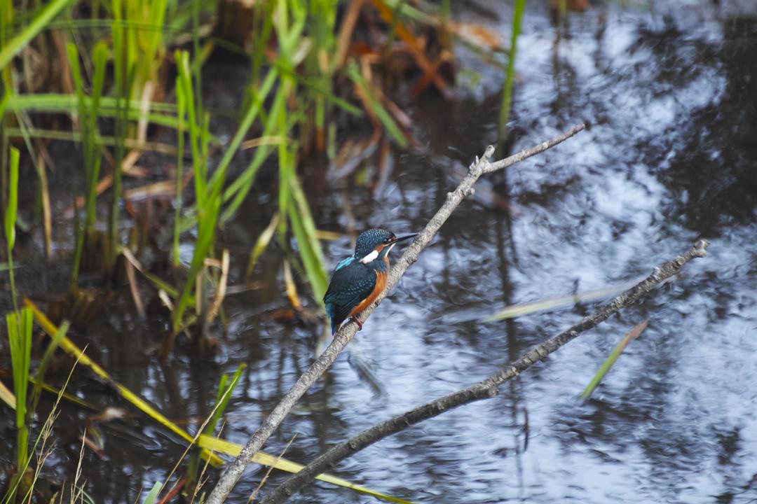 sd Quattro で野鳥撮影は楽しめないのか?いえいえ。~松戸市・21世紀の森公園でカワセミを楽しむ(後編)~_c0223825_12404913.jpg