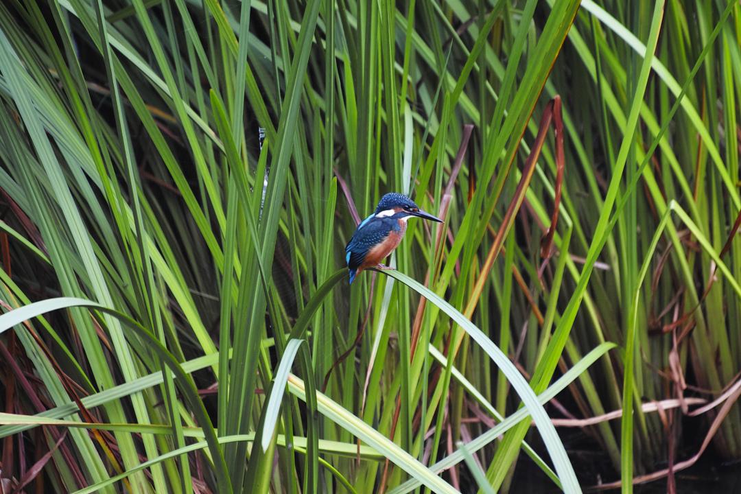 sd Quattro で野鳥撮影は楽しめないのか?いえいえ。~松戸市・21世紀の森公園でカワセミを楽しむ(後編)~_c0223825_12441645.jpg